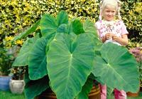 $9.99 Giant Elephant Ear Plants
